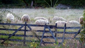moutons-caussedegramat-quercy-copyright-yseult-carre