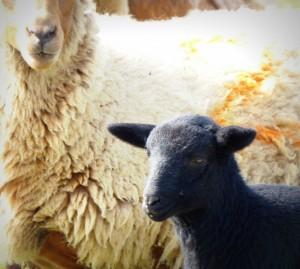 agneau-noir-de-solognote-mouton-de-sologne-copyright-yseult-carre