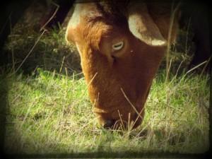mouton-de-sologne-francoise-prudhomme-copyright-yseult-carre