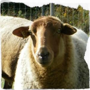 mouton-de-sologne-francoise-prudhomme1-copyright-yseult-carre