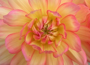 dahlia-sologne-2010-copyright-yseult-carre-
