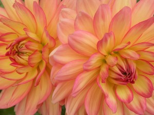 dahlias-sologne-2010-copyright-yseult-carre