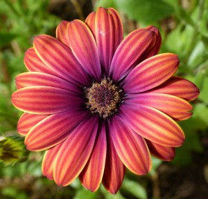 osteospermum1-chaumont-copyright-yseult-carre