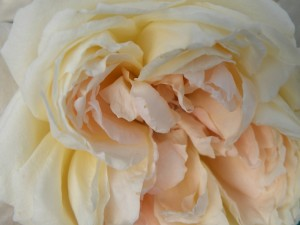 rose-blanche--sologne-copyright-yseult-carre
