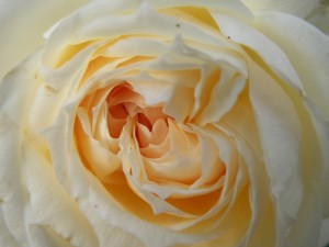 rose-blanche-sologne-copyright-yseult-carre