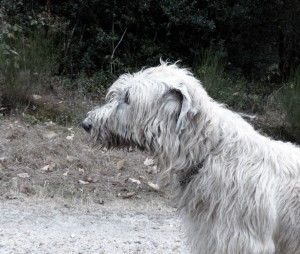 eireann-of-muma-irish-wolfhound-nb-copyright-yseult-carre