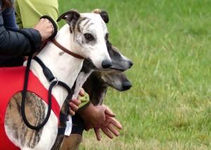 greyhound-pompadour-2016-copyright-yseult-carre