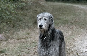 hermione-of-muma-irish-wolfhound-foret-sologne-nbv-copyright-yseult-carre-