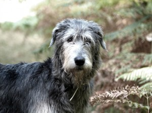 hermione-of-muma-irish-wolfhound-foret-sologne-portrait-copyright-yseult-carre-