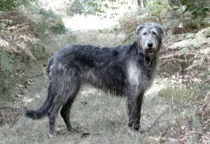 hermione-of-muma-irish-wolfhound-nbv-foret-sologne-copyright-yseult-carre-