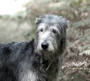 hermione-of-muma-irish-wolfhound-tete-foret-sologne-copyright-yseult-carre