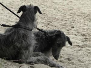 jane-et-lee-lou-of-muma-deerhound-levrier-ecossais-pompadour-2016-copyright-yseult-carre