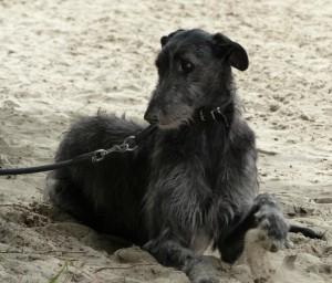 lee-lou-of-muma-deerhound--levrier-ecossais-pompadour-2016-copyright-yseult-carre-