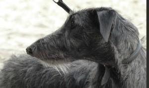 lee-lou-of-muma-deerhound-levrier-ecossais-pompadour-2016-copyright-yseult-carre-