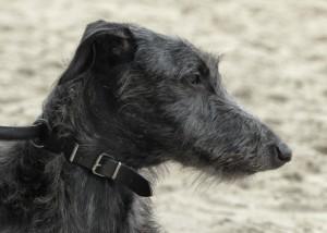 lee-lou-of-muma-deerhound-levrier-ecossais-pompadour-2016-copyright-yseult-carre