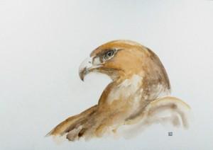 Aigle de Bonelli aquila fasciata © Yseult Carré